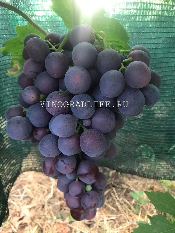 Виноград Тюльпан (видео)