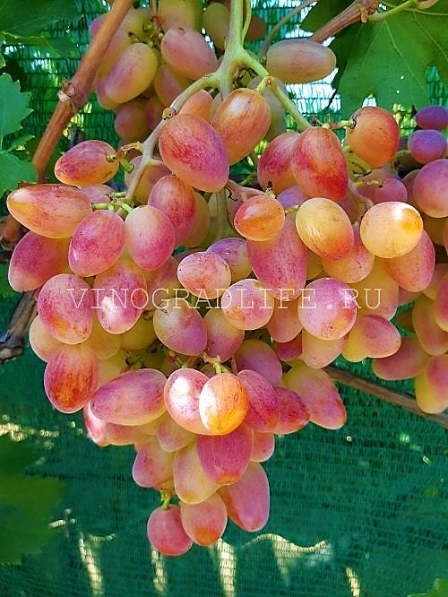 Виноград Преображение (видео)