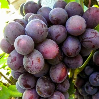 Саженцы винограда Джонни