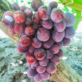 Саженцы винограда Заря Несветая