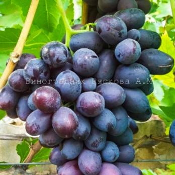 Саженцы винограда Ирэн