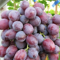 Саженцы винограда Лада-Т