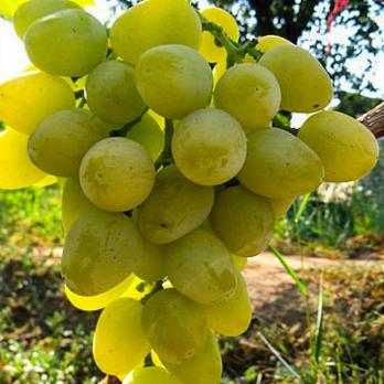 Саженцы винограда Монарх (Хризолит)