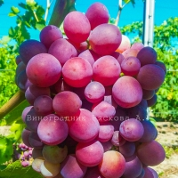 Саженцы винограда Невеста