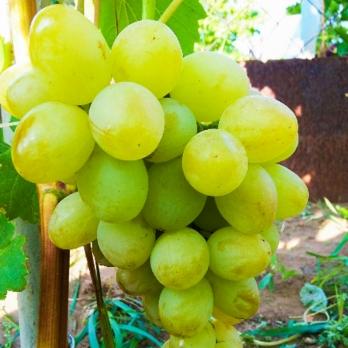 Саженцы винограда Озон