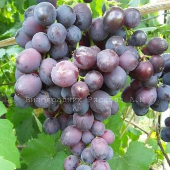 Саженцы винограда Памяти учителя