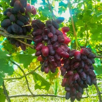 Саженцы винограда Переясловская рада