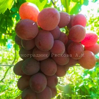 Саженцы винограда Подарок Родионову