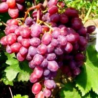 Саженцы винограда Подарок Винокурову