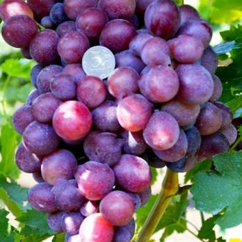 Саженцы винограда Подарок Свечникову