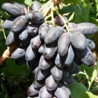 Саженцы винограда Первенец (Болгария)