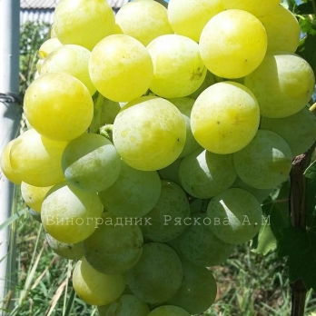 Виноград Барс
