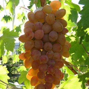 Саженцы винограда Румба