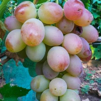 Саженцы винограда Синдикат