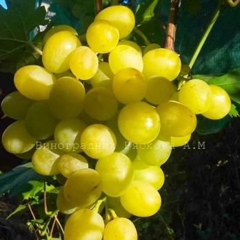 Саженцы винограда Тройка
