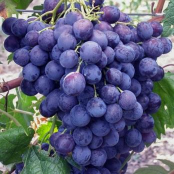Саженцы винограда Фараон
