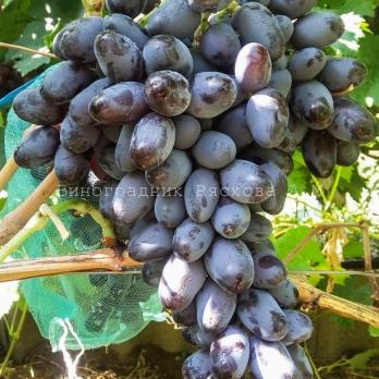 Саженцы винограда Эталон