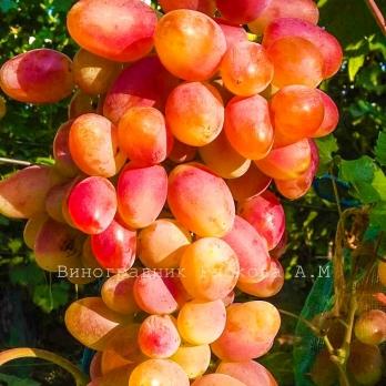 Саженцы винограда Юбилей Новочеркасска