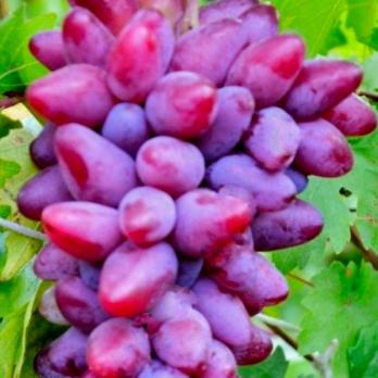 Виноград Сирень