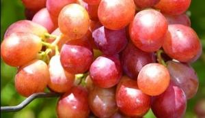 Саженцы винограда Лазурь