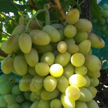Саженцы винограда Бригадир