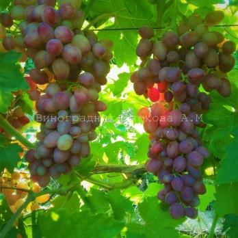 Саженцы винограда кишмиш Премьер