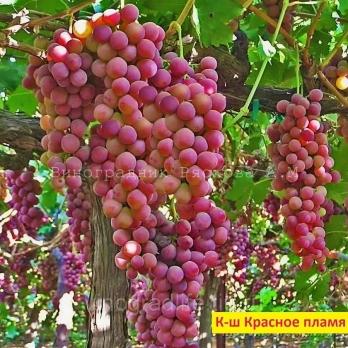 Саженцы винограда кишмиш Красное Пламя (Red Flame seedless)