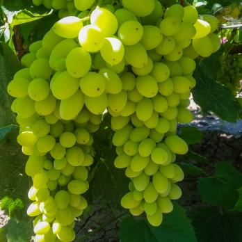 Саженцы винограда кишмиш Столетие (Centennial Seedless)