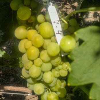 Саженцы винограда Боярин