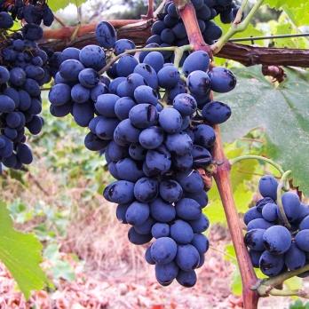 Саженцы винограда Саперави северный