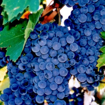 Саженцы винограда Рубин Голодриги