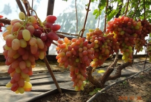 Виноград Казанова