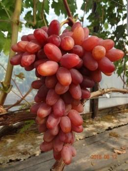 Саженцы винограда Казанова