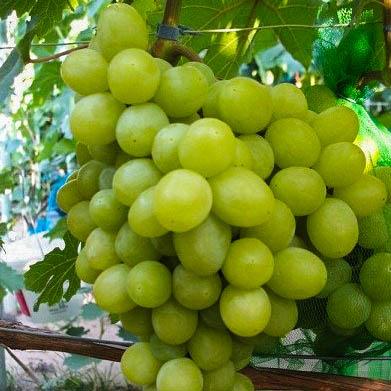 Саженцы винограда Валёк