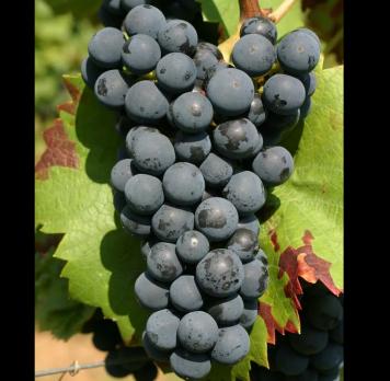 Виноград Регент