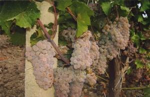 Виноград Рисус
