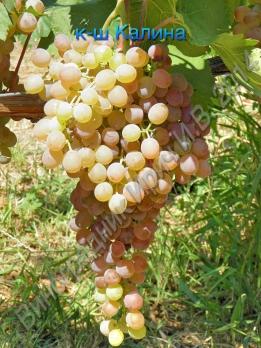 Саженцы винограда кишмиш Калина