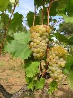 Виноград Первенец Магарача