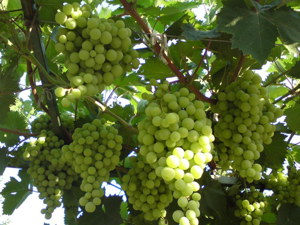 Виноград кишмиш Афродита