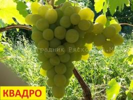 Виноград Квадро