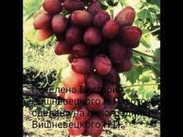 Виноград Елена Виктория