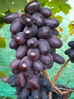 Виноград Богатырь