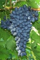 Виноград кишмиш Джой