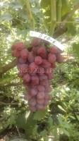 Виноград Васса