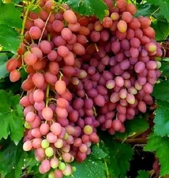 Виноград к-ш Лучистый